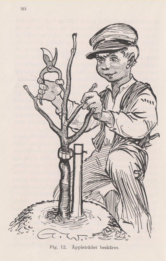 Sven klipper sitt äppelträd